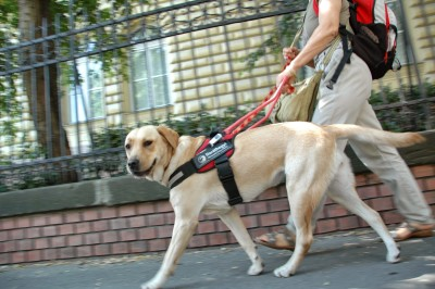Hungarian guide dog