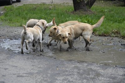 Guide dogs, puppies and adults wallowing in joy :)