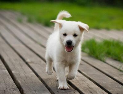 Kutya egészségvédelme, cuki vakvezető kutya kölyök szembe szalad