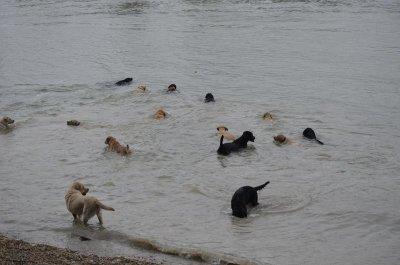 Guide dogs are pleased swam the Danube