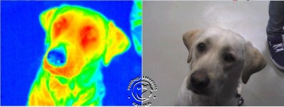 Bodza (Elderberry) the guide dog on thermographic picture