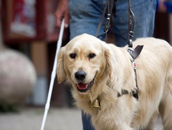 On the picture, a golden retriever guide dog can be seen on the left side of his owner, who has a white stick in his right hand.