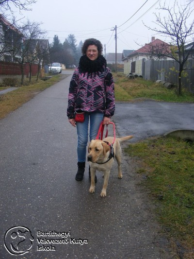 Pax the yellow labrador is leading Maja on their way home