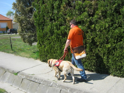 József  Király is walking down the sidewalk with his yellow Labrador