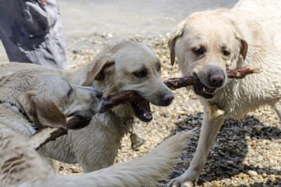 In the picture there are three Labradors playing with a stick.
