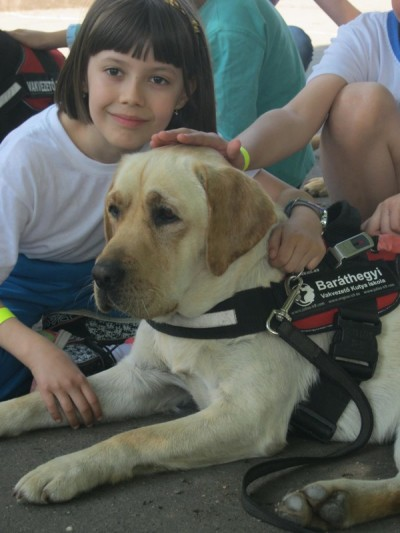 In the picture there is a yellow Labrador lying in harness with a lttle girl squatting beside her. The dog is being caressed in the meantime.