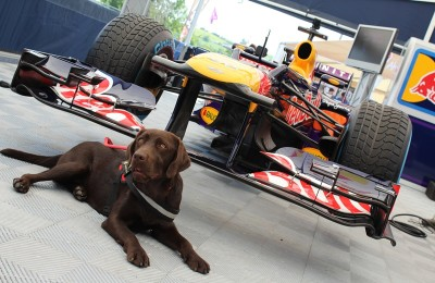 There is a chocolate brown Labrador in the picture lying in harness in front of a race car.