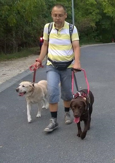 In the picture a visually impaired man is being guided by its chocolate brown guide dog. The man is holding the leash of a yellow Labrador in his right hand. Csaba Tanai with his guide dog, Bonca and his retired guide dog, Enya.
