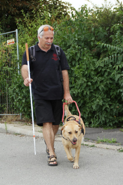 In the picture, a yellow Labrador is guiding a man who is holding a white cane in his right hand.