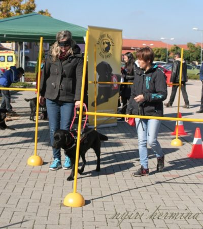 In the picture a woman is guided by Felhő, a black Labrador, in the obstacle course. Felhő's leash is held by her attendant.