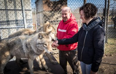 In the picture two wolves are standing in front of Mária. One of them is smelling Maria's hand.