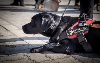 In the picture a black Labrador is lying on the ground in guide dog harness.