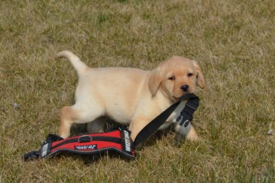In the picture a golden Labrador puppy is holding the end of a guide dog's harness in his mouth.