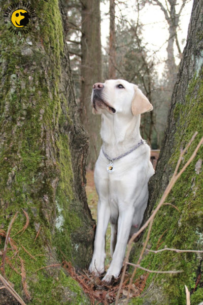 We are optimistic that this friendly, yellow, female Labrador will provide a solid basis for us to use her offspring, as a result of which we may train excellent guide dogs in the future
