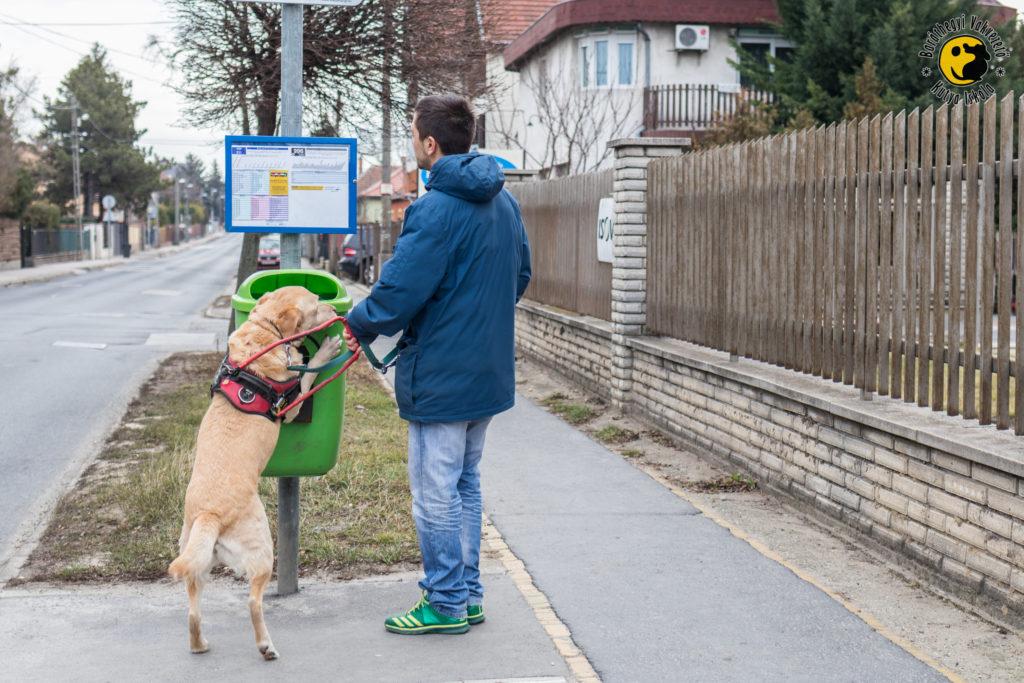 Andy a sárga labrador felugrik a megállót jelző táblára