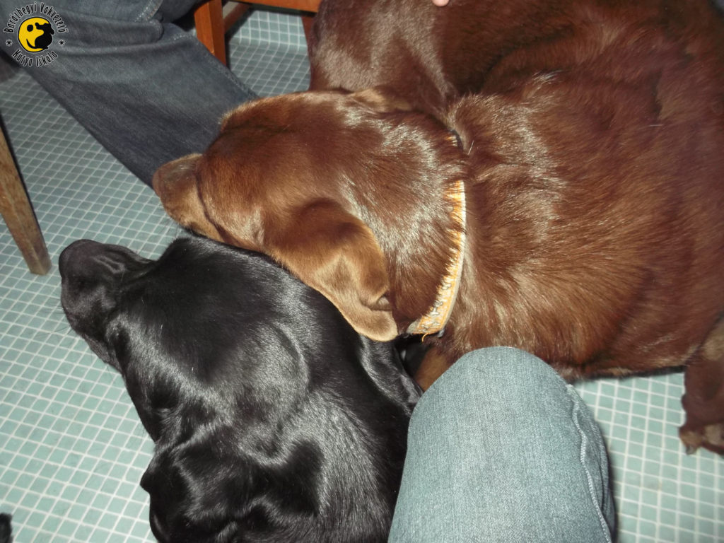 The black labrador, Henna loves cuddling with Infra