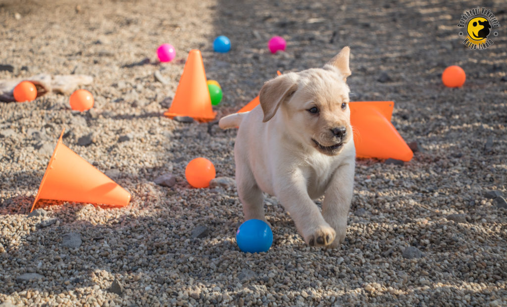 The little yellow labrador is happy to play with colorful balls