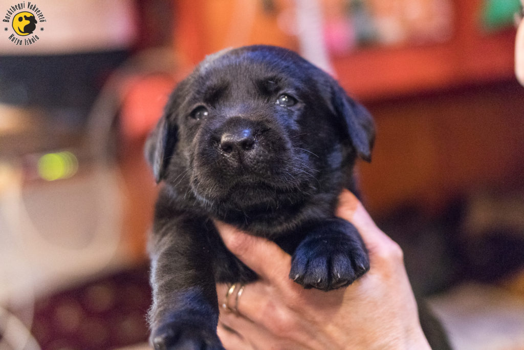 Milka, the black female labrador puppy looks at the world curiously