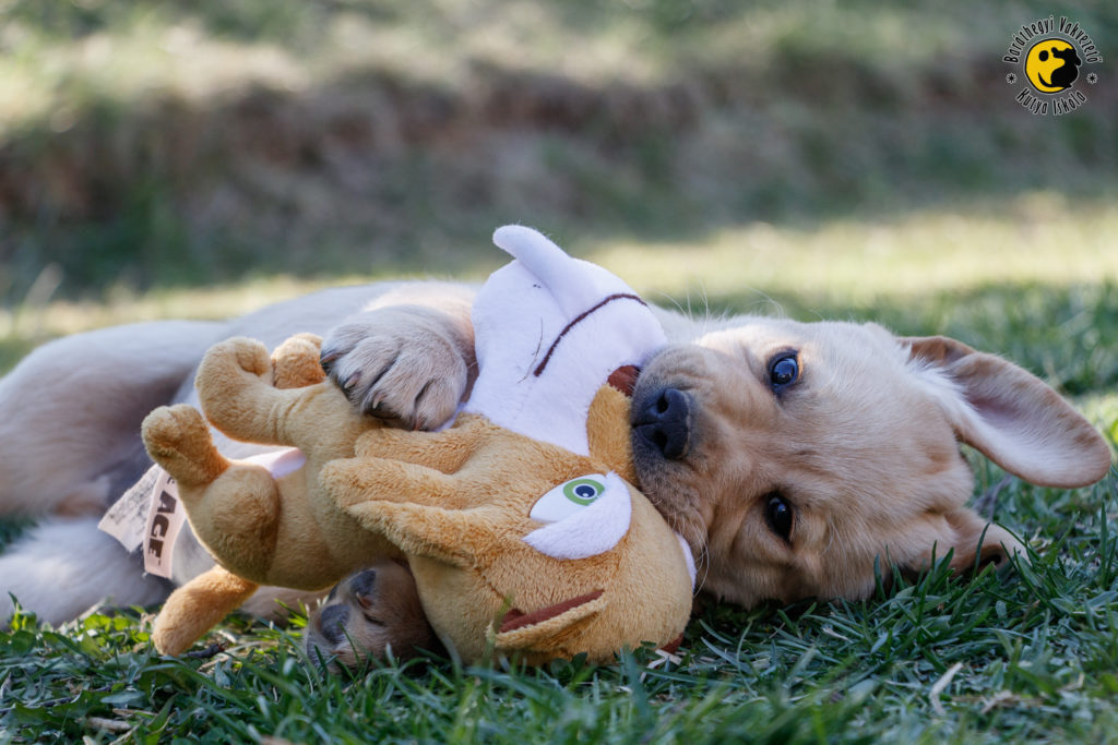 The puppies like wrestling even with plush toys if there are no siblings near at hand