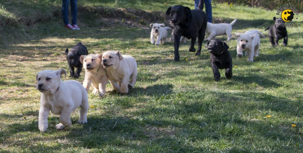 A hét sárga labrador, és a 3 fekete vidáman szaladgál együtt anyukájukkal, Irissal,
