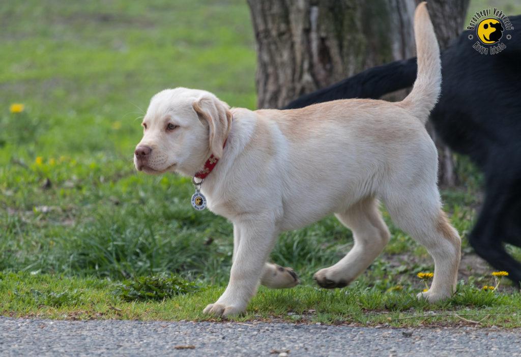 Latte a sárga labrador büszkén sétál az egyik kölyöktalálkozón
