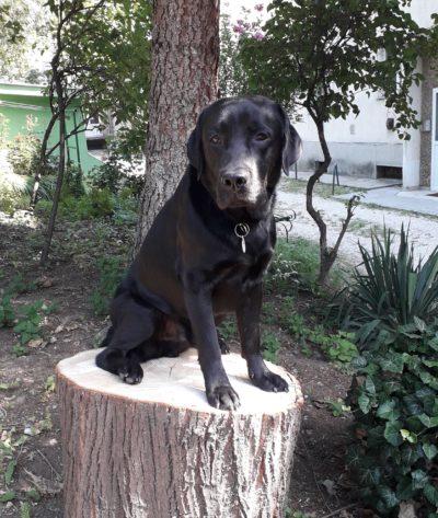 Grafit a fekete labrador ül egy kivágott fa tönkjén
