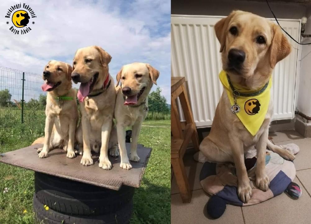 A három sárga labrador egymás mellett ülnek, valamint Kiwi sárga Baráthegyis kendőben pózol