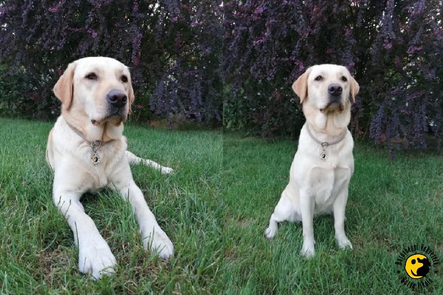 A sárga labrador az egyik képen nyugodtan fekszik a fűben, a másik képen méltóságteljesen ül