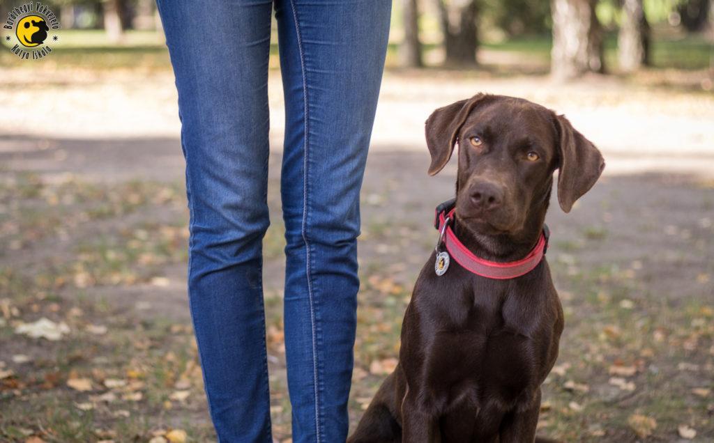Linzer, a csoki színű labrador kölyöknevelője lábánál ül