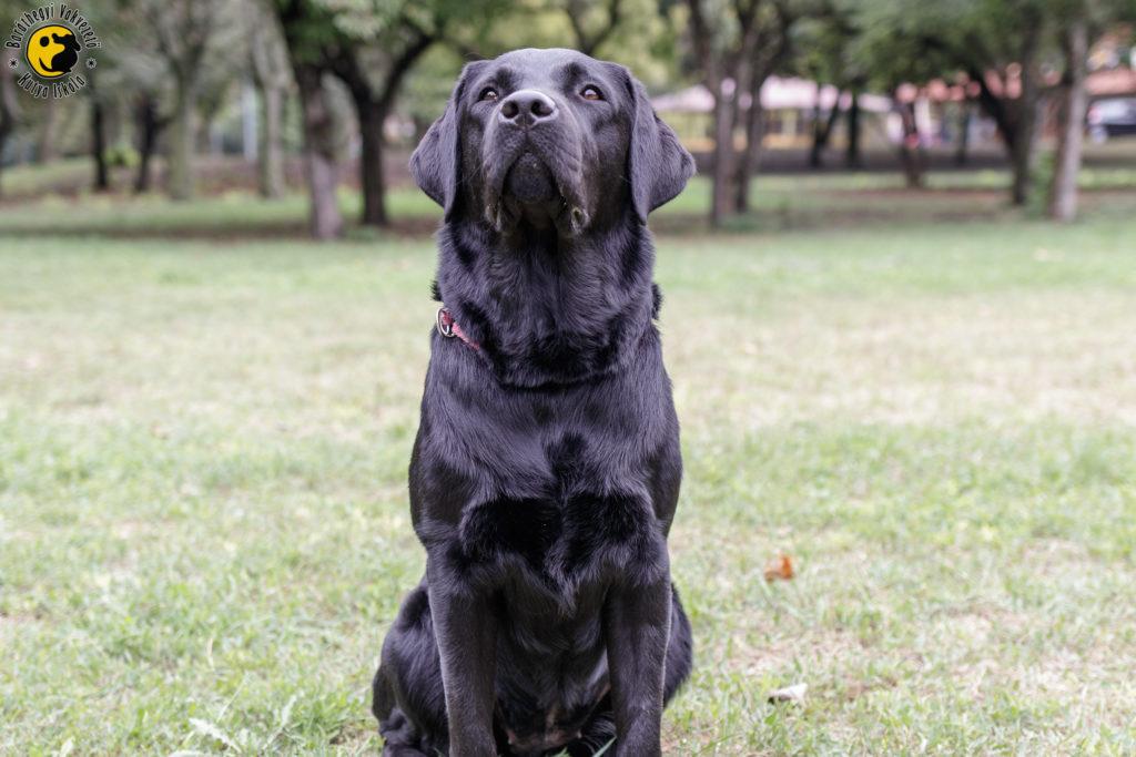 A gyönyörű fekete labrador büszkén, emelt fővel üldögél a mezőn