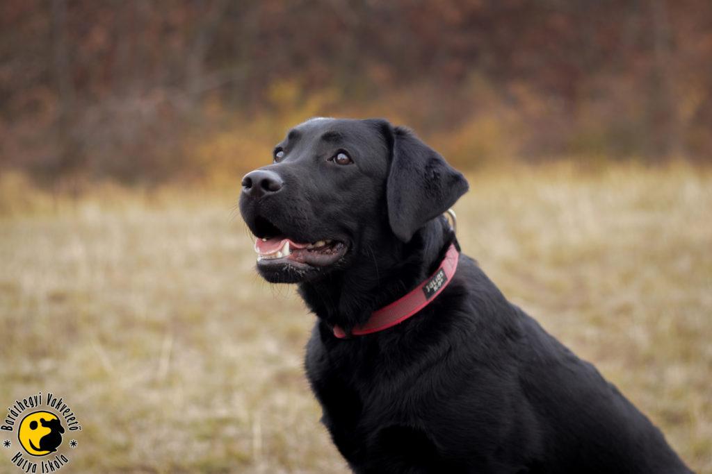Mokka a gyönyörű fekete labrador a kamerába nevet